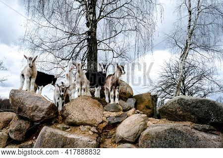 Herd Of Goats In The Grassland. Goats Eating Grass And Climbing Rocks On A Pasture In Farm. Goat Kid