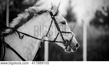 Black And White Portrait Of A Beautiful Fast Horse With A Gray Mane And A Bridle On Its Muzzle, Whic