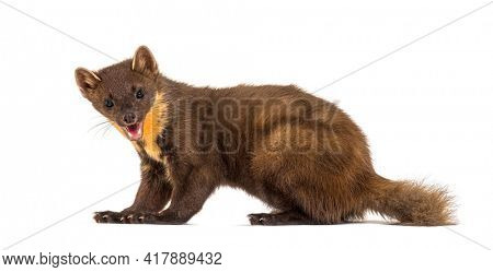 Portrait, side view Pine marten, isolated on white