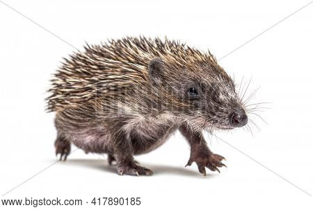 Walking Young European hedgehog looking at the camera, isolated on white