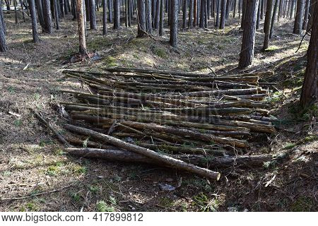 Large Quantity Of Cut And Stacked Spruce Timber In Forest For Transported. Stack Of Cut Logs Backgro