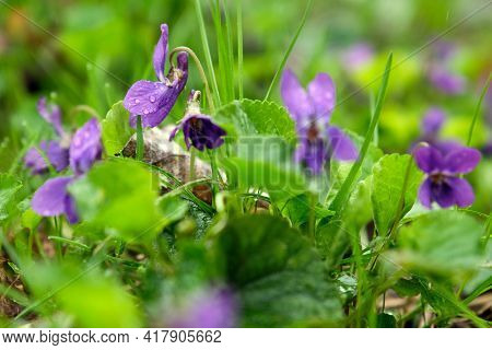Blooming Forest Violet Bush In A Spring Day. Young Light Green Foliage And Bright Spring Colors Of T