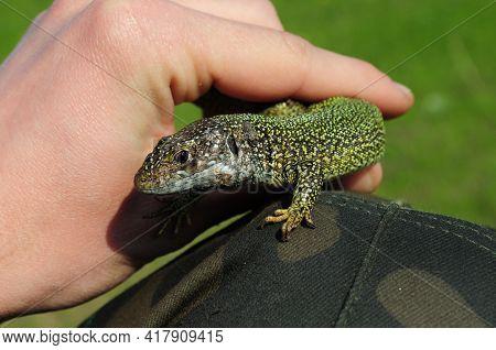 European Green Lizard Lacerta Viridis Holds In Human Fingers. Little Lizard With Brown Eye Looking I