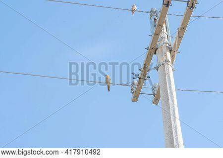 Bird Celeus Flavesceus Perched On Mains Wires