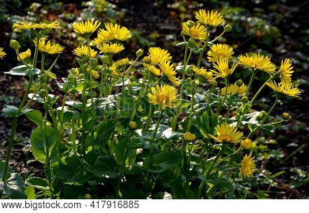 Richly Overgrown Yellow Tufts Covering Many Flowerbeds Near Houses, Where Against The Background Of
