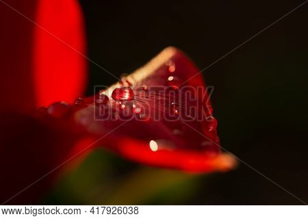 Red Tulip Drops Macro. Beautiful Sensual Floral Background. Fragrant Tulips Bloom Close-up In The Ga