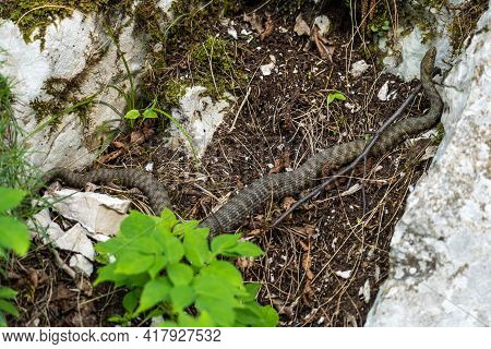 Dice Snake, Natrix Tessellata In Plitvice National Park, Croatia In Europe. The Dice Snake Is An Eur