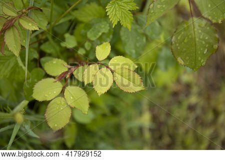 Green Leaves Of Young Rose Bush With Water Drops