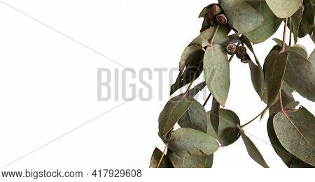 Eucalyptus (eucalyptus Globulus, Commonly Known Assouthern Blue Gum) Branch With Fruits Isolated On