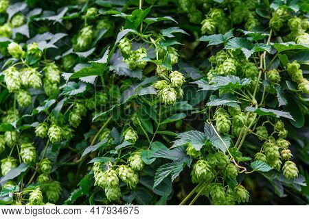 Fresh And Ripe Hops Ready For Harvesting. Beer Production Ingredient. Brewing Concept. Fresh Hop Ove