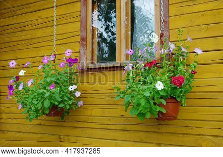 Hanging Planters With Colorful Petunias (lat. Petunia) Under The Window Of A Wooden House