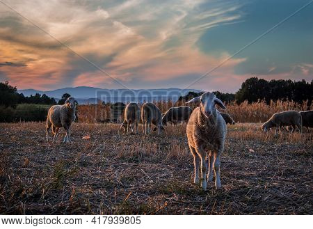Sheeps Grazing In The Afternoon Light. Eastern Europe, Serbia