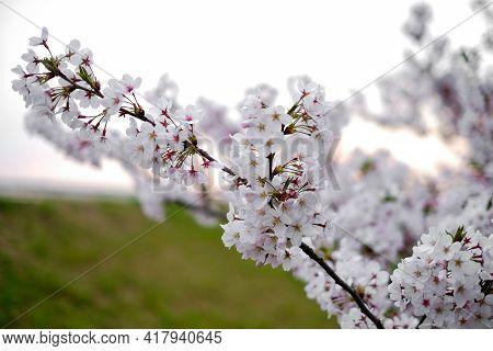 Soft Pink Sakura Cherry Blossoms Branches In Spring Season, Soft Focus On Blur Garden Background Wit