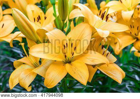 Close Up Of Yellow Lily Flower. Hemerocallis Also Called Lemon Lily, Yellow Daylily, Hemerocallis Fl