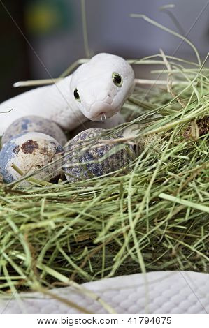 White Texas rat snake on a clutch of eggs poster