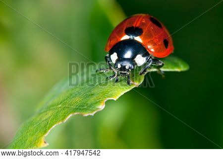 Red with black spots ladybug on a green little leaf