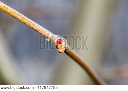 Bud Of Platanus X Hispanica On Tree Branch.