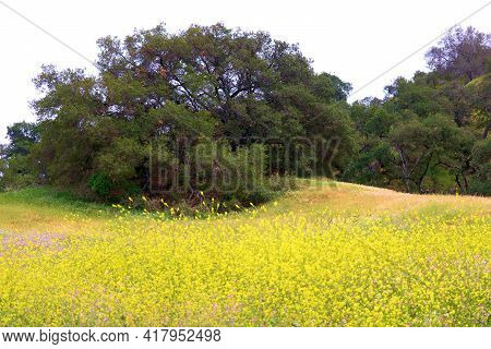 Lush Grasslands With Mustard Plant Wildflowers During Spring Surrounded By Rural Hills Covered With
