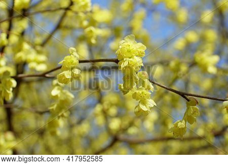 The Yellow Flowers Of Hybrid Witch-hazels Tree, With Scientific Name Hamamelis Intermedia