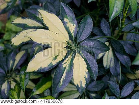 White And Green Variegated Leaves Of Umbrella Tree 'trinette'