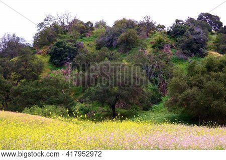Rural Hillside Covered With Oak Trees Surrounded By A Lush Meadow With Wildflower Blossoms Taken At
