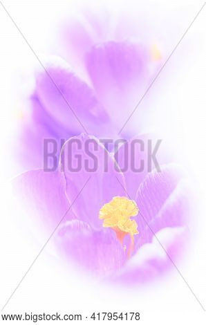 Soft Focus Image Of Springtime Bright Violet Crocuses In Close-up. Ideal Artwork For Your Home Decor