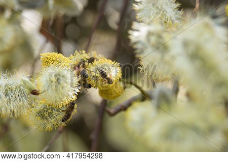 Bees Collect Nectar On Salix Flowers In Early Spring. Ornamental Shrub For The Garden. Beekeeping.