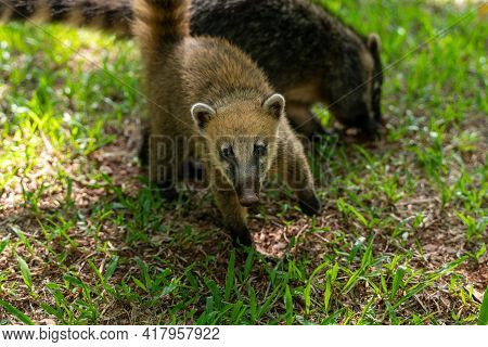 A Young Coati Looking At Me In Brazil