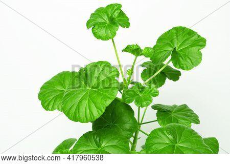Green leaves of home potted plant pelargonium or geranium close up.