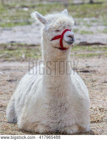 Portrait Of A White Llama Lying Down.