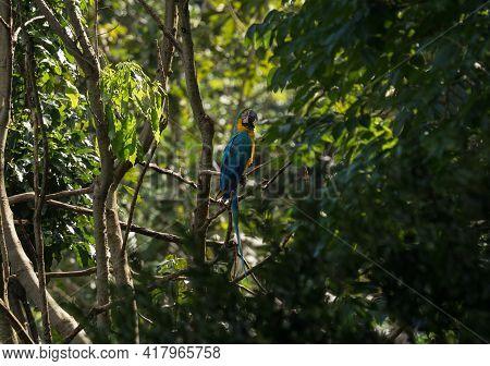 Closeup Of Blue-and-yellow Macaw Ara Ararauna Colorful Parrot Bird Wildlife In Amazon Rainforest Jun