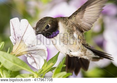 Black-chinned Hummingbird Searching For Nectar Among The Violet Flowers