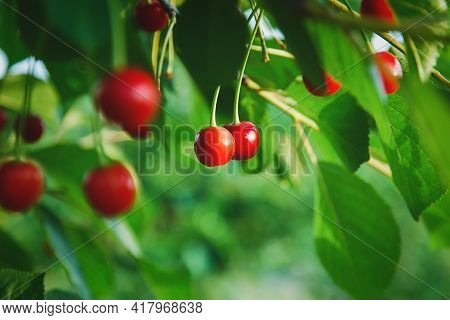 Cherries On The Tree, Cherry Fruit Grow In Summer Orchard