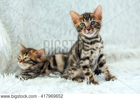 Two Cute Bengal Kittens Laying On A Furry White Blanket.