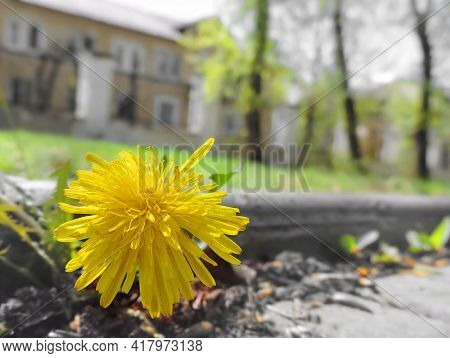 Yellow Dandelions  (taráxacum) Close Up. Cement Road.  Fragility Concept.