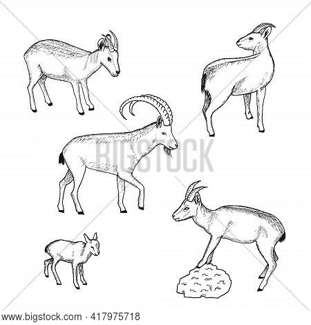 Sketch Farm Animals Collection With Wild Goat Nanny And Kid On White Background Isolated Vector Illu