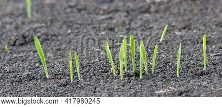 Germination Of Wheat From The Soil. Young Sprouts Of Barley On The Field. Panorama Of A Germinating