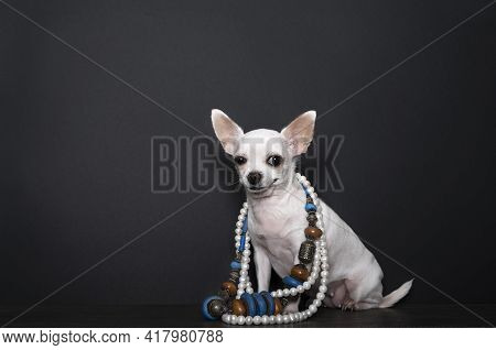 A Small Chihuahua Dog Demonstrates A Black Pearl Necklace And Costume Jewelry While Standing Against