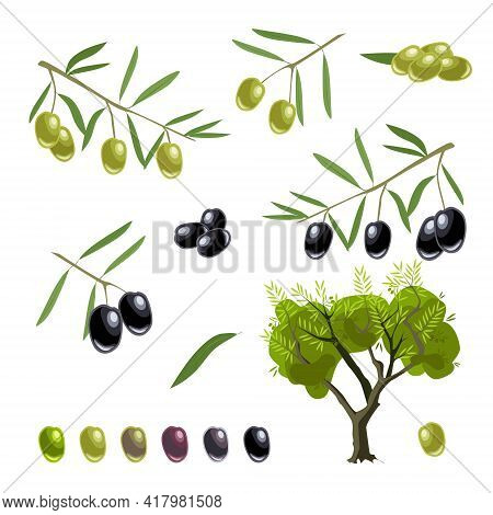 A Set Of Sprigs With Green And Black Olives. Olive Tree, Branches, Olives And Olives, Stages Of Frui