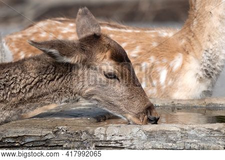 Close Up Head Of Female Deer Was Drinking Water