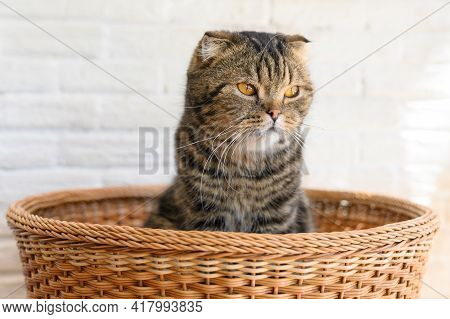 Portrait Of Cute Scottish Fold Cat In The Basket. The Fold Is A Result Of An Incomplete Dominant Gen