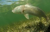 In its natural habitat a redfish is swimming in the grass flats ocean poster