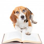 beagle dog wearing glasses reading book poster