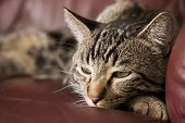 A lazy tabby cat half asleep on a burgundy leather chair. Shallow DOF. poster