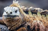 Close up portrait of male marine iguana, endemic of Galapagos islands, Ecuador poster