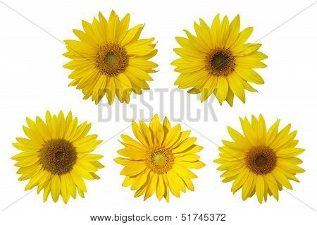 Isolated sunflowers on the white background.