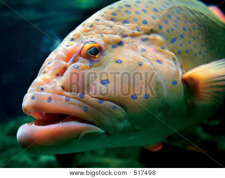 large tropical fish swimming in front of my camera in south australia. poster