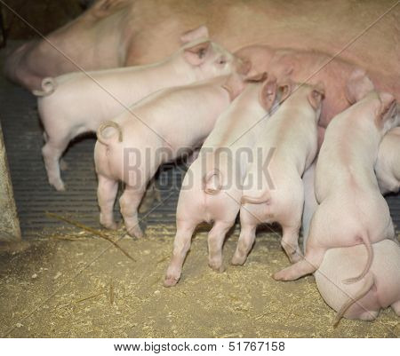 Group of piglets eating at the farm