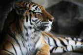 Handsome tiger resting in cool corner of habitat with dark corners. Shallow DOF used on face poster