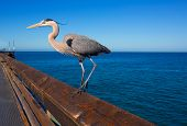 Great blue Heron Ardea cinerea in Newport pier California USA poster